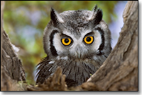 southern_white_faced_scops_owl